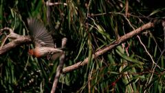 Finch Bird Takes Off Flying Slow Motion Stock Footage