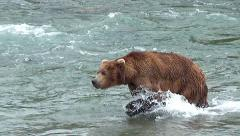 Brown Bear Boar Walks with Strong Strides Against the River's Current Stock Footage