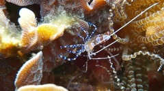 Spotted cleaner shrimp Periclimenes yucatanicus Stock Footage