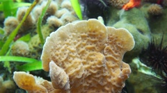 Underwater life closeup of thin leaf lettuce coral Stock Footage