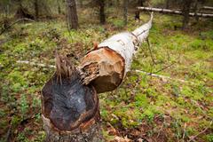 Fallen tree cut by beaver Stock Photos