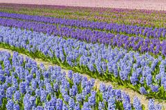 Hyacinth Field Colors Purple - stock photo