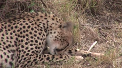 Female cheetah resting and cleaning after eating a kill on the masai mara Kenya - stock footage