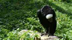 Stock Video Footage of Andean condor