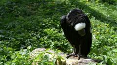 Andean condor Stock Footage