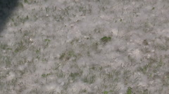 Storm of pollen blowing from the trees in the spring allergy season - stock footage