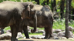 Asian elephants in wild animal park Stock Footage