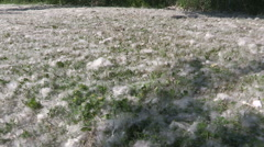 Storm of pollen blowing from the trees in the spring allergy season Stock Footage