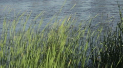 River bulrush - stock footage