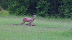 Young roe buck in the forest glade Stock Footage