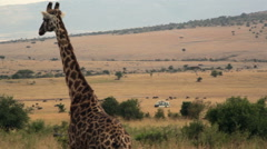 Giraffe watches Masai Mara savannah, Kenya safari, long shot Stock Footage