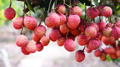 Ripe lychees fruit on tree, Asia fruit of Chiang Mai in Thailand, Panning shot. Stock Footage