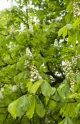 Horse chestnut blooming Stock Photos