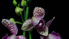 Pink spoted orchid opening 2A Stock Footage