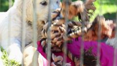 Beautiful little golden retriever puppies play in the aviary Stock Footage