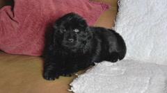 Newfoundland puppy lying on sofa. Stock Footage