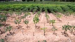 Cassava plantation in Chiang Mai, Thailand. Stock Footage