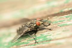 Common House Fly (Musca Domestica) Stock Photos
