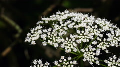 White flowers - yarrow summer garden UHD Stock Footage