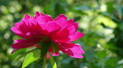 Red Peony summer garden UHD Stock Footage
