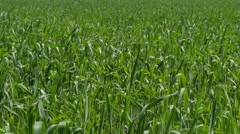 Green Field Waves Moved by Summer Wind Stock Footage