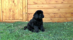 Newfoundland puppy sitting on grass. Stock Footage