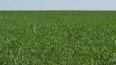 Wheat Field Waves Moved by Summer Wind with horizon panorama Stock Footage