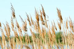 Reeds - stock photo