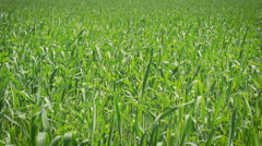 Wheat Field Waves Moved by Wind. Toning - stock footage