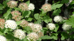 White flowers on a bush in the forest in summer HD Stock Footage