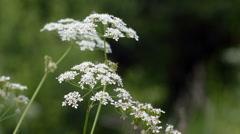 White flowers (yarrow) field in the summer hd - stock footage