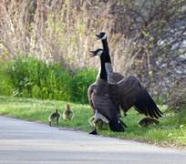 How Canada geese defend their children - stock photo