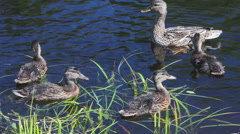 Duck with ducklings in the lake Stock Footage