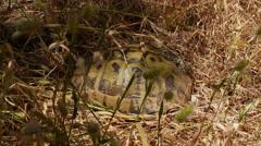 Wild mediterranean tortoise, Menorca, Spain, 4k, UHD Stock Footage