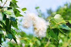 Poplar fluff in twig among green leaves Stock Photos