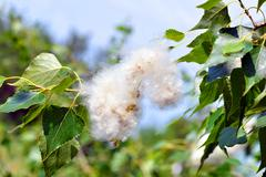 Poplar fluff in the twig among green leaves Stock Photos