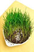Green wheat grass with mustiness isolated on white background - stock photo