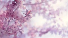 Closeup of blooming pink Japanese Sakura with soft blur effect in a milk haze. Stock Footage