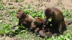 Sapajou monkey sitting on the ground, catching lice Stock Footage