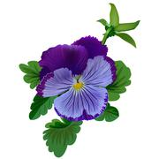 Violet pansy flower with leaves and bud - stock illustration