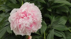 A large Peony flower and bud. - stock footage