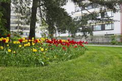 bed of tulips, lawn and pine trees in a residential area - stock photo