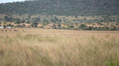 Vulture flying and landing in tall grass savannah, Masai Mara, Kenya safari Stock Footage