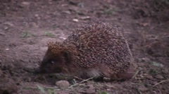 Hedgehog sniffs mulberry Stock Footage