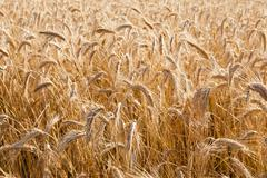 the ripened cereals - stock photo