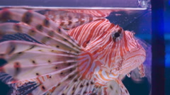 Lion fish swimming under water Stock Footage