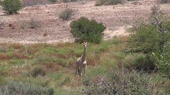 Savannah landscape with giraffe alone Stock Footage