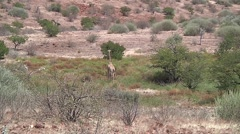 Landscape with girafe Stock Footage