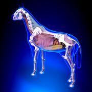 Horse Anatomy - Internal Anatomy of Horse Back View on blue background Stock Illustration