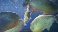 Flock of piranhas eating Stock Footage